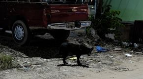 Black stray dog of mixed breed, cherry-colored Toyota brand car, trash on the street, night royalty free stock images