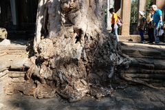 Several Asian tourists stroll around an old tree in a historic park. An ancient mutilated. Siem Reap, Cambodia, December 18, 2018 Several Asian tourists stroll royalty free stock photo