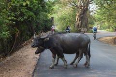 Siem Reap, Kambodscha - 26. März 2018: zwei Büffel und Tourist auf Fahrrädern auf Straße Angkor Wat Straßenszene mit Touristen stockbilder