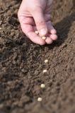 Siembra de la primavera de semillas en el suelo. Fotos de archivo libres de regalías