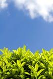 Siepe di arbusti dell'alloro un giorno soleggiato Immagine Stock
