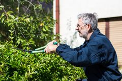 Siepe di arbusti della guarnizione del giardiniere con le forbici di giardinaggio Immagini Stock