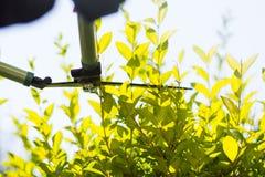 Siepe di arbusti della guarnizione del giardiniere con le forbici di giardinaggio Fotografia Stock Libera da Diritti