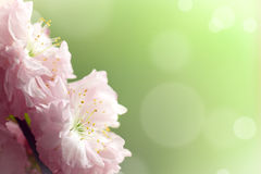 Sier bloeiende amandel Stock Fotografie