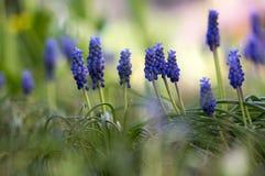 Sier de lentebloemen van Muscariarmeniacum, bloeiende blauwe installatie in de tuin royalty-vrije stock afbeelding