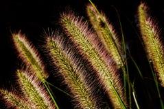 Sier Gras Royalty-vrije Stock Foto's