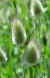 Sier gras Stock Afbeelding