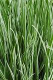 Sier Gras Carex Royalty-vrije Stock Afbeelding
