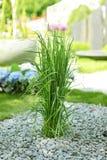 Sier gras in tuin Royalty-vrije Stock Fotografie
