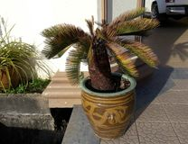 Sier Palm Stock Foto