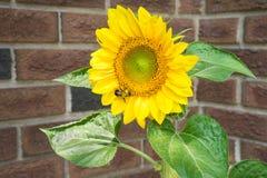 Sier zonnebloemen Stock Foto