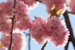 Sierkersenbloesem in de lente van 2018 stock fotografie