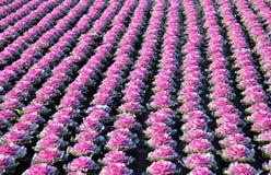Sierkool of Brassica bij de groothandel. Stock Foto's