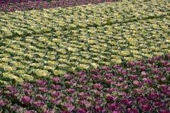 Sierkool of Brassica bij de groothandel. Stock Afbeelding