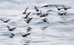 Sierlijk stormvogeltje, de onweer-Stormvogel van Elliot \ 's, Oceanites-gracili royalty-vrije stock afbeeldingen
