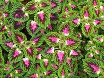 Siernetelbloemen (Geschilderde netel, Vlamnetel) Stock Foto