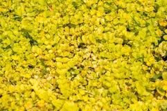 Sierplant met gele bladeren Achtergrond royalty-vrije stock fotografie