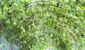 Sierpompoenlandbouwbedrijf in het oogstseizoen Stock Afbeelding