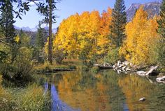 Sierra Colors. Golden aspen trees reflected in creek royalty free stock image