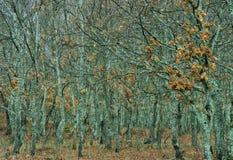Sierra De Frans dębowi drzewa obraz royalty free