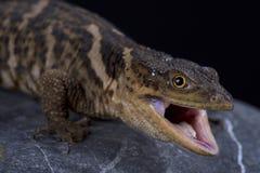 Sierra Gorda rock lizard Xenosaurus mendozai. The Sierra Gorda rock lizard Xenosaurus mendozai is a recently described lizard species from Mexico Royalty Free Stock Photography