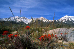 Sierra Nevada. Indian Paintbrush and the Sierra Nevada Royalty Free Stock Photography