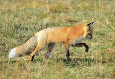 Sierra nevada red fox in grass, yellowstone national park, monta. Sierra nevada red fox or Vulpes vulpes necator one of americas most endangered mammals Stock Photo