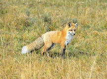 Sierra nevada red fox in grass, yellowstone national park, monta. Sierra nevada red fox or Vulpes vulpes necator one of americas most endangered mammals Stock Image