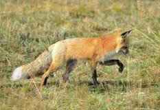 Sierra renard rouge de Nevada dans l'herbe, parc national de yellowstone, monta Photo stock