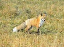 Sierra renard rouge de Nevada dans l'herbe, parc national de yellowstone, monta Image stock