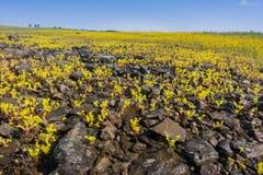 Sierra Spott-Mauerpfeffer (Sedella-pumila) blühend auf dem Basaltfelsen der Nordtafelberg-ökologischen Reserve, Oroville, stockfotos