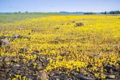 Sierra Spott-Mauerpfeffer (Sedella-pumila) blühend auf dem Basaltfelsen der Nordtafelberg-ökologischen Reserve, Oroville, stockbild