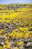 Sierra Spott-Mauerpfeffer (Sedella-pumila) blühend auf dem Basaltfelsen der Nordtafelberg-ökologischen Reserve, Oroville, stockfotografie