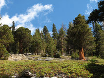 Sierra trees Stock Images