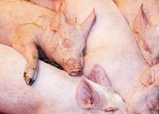 Siesta de los babys de los cerdos Fotos de archivo libres de regalías
