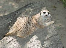 Siesta de Meerkat Imagen de archivo libre de regalías