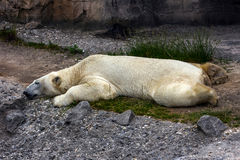 Siesta. Polar bear sleeps and dreams. Photography of wildlife Stock Image