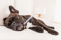 Siesta sick  dog Royalty Free Stock Image