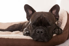 Siesta sleeping dog Royalty Free Stock Photography