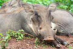 Siesta of warthogs on savanna, Ghana Royalty Free Stock Photography