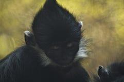 Siestas del mono de araña el dormir en el parque zoológico del LA fotos de archivo