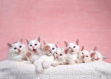 Siete gatitos blancos en la cama, una que alcanza hacia fuera al espectador fotografía de archivo