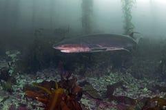 Siete Gill Shark Fotos de archivo