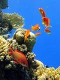 Siete pescados rojos Imagenes de archivo