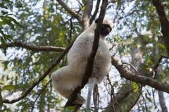 Sifaca Parco naturale di Tsingy de Bemaraha Fotografia Stock