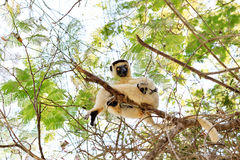 Sifaka with baby. Verreaux's sifaka (Propithecus verreauxi), or the white sifaka, with baby in Kirindy Mitea National Park, Madagascar Stock Images