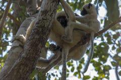 Sifaka con il bambino Parco naturale di Tsingy de Bemaraha Fotografie Stock Libere da Diritti