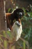 Sifaka coronado (coronatus de Propithecus) Fotos de archivo