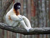 Sifaka couronné Photo stock