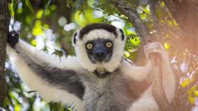 Sifaka cute portrait in a wildlife scene in Madagascar, Africa. Close up portrait of a white Verraux Sifaka lemur with yellow eyes gaze on Zombitse, Madagascar Stock Photography
